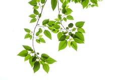 De Bladeren van de lente Stock Afbeeldingen