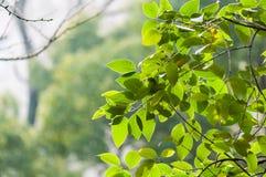 De bladeren van de lente Stock Foto