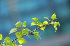 De bladeren van de lente Stock Fotografie