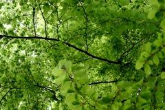 De bladeren van de lente Royalty-vrije Stock Afbeelding