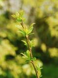 De Bladeren van de lente op Plum Sorriso Di Primavera Royalty-vrije Stock Foto