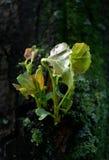 De bladeren van de lente van populier Royalty-vrije Stock Foto