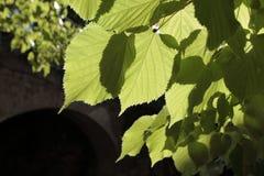 De bladeren van de linde Royalty-vrije Stock Fotografie