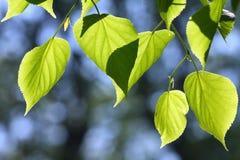 De bladeren van de linde Stock Foto