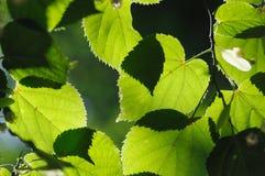De bladeren van de linde. Royalty-vrije Stock Foto