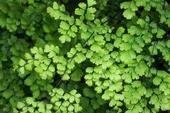 De bladeren van de Maidenhairvaren Stock Afbeelding
