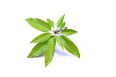De bladeren van de mango Royalty-vrije Stock Afbeeldingen