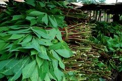 De Bladeren van de maniok Stock Afbeeldingen
