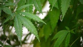 De bladeren van de marihuanacannabis met waterdruppeltjes stock video