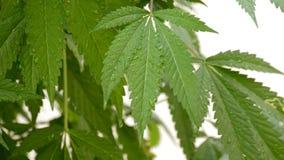 De bladeren van de marihuanacannabis met waterdruppeltjes stock videobeelden