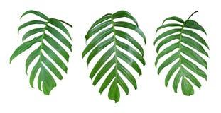 De bladeren van de Monsterainstallatie, de tropische altijdgroene wijnstok die op witte achtergrond, weg wordt geïsoleerd royalty-vrije stock afbeelding
