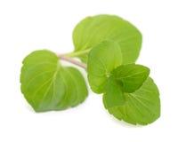 De bladeren van de munt Stock Foto's