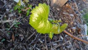 De bladeren van de muscateldruifdruif in de vroege Lente stock afbeelding