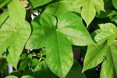 De bladeren van de ochtendglorie (Ipomoea) Royalty-vrije Stock Afbeelding