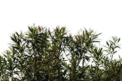De bladeren van de oleander Stock Foto's