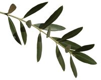 De bladeren van de olijf royalty-vrije stock fotografie