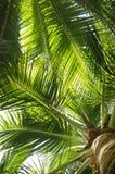 De bladeren van de palm met kokosnoten Royalty-vrije Stock Foto's