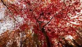 De bladeren van de parapluboom stock foto
