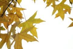 De bladeren van de parasolboom royalty-vrije stock afbeelding