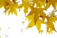 De bladeren van de parasolboom stock afbeelding