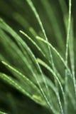 De bladeren van de pijnboom Royalty-vrije Stock Afbeeldingen