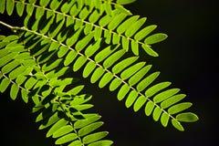 De Bladeren van de tamarinde Stock Fotografie