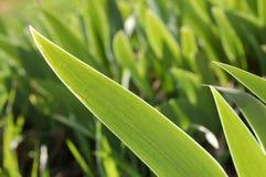 De bladeren van de tulp Stock Foto's