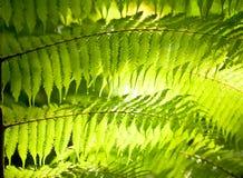 De bladeren van de varen Stock Afbeelding