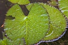 De Bladeren van de waterlelie Stock Afbeeldingen