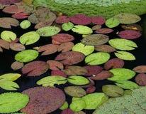 De Bladeren van de waterlelie Stock Foto's