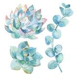 De bladeren van de waterverfeucalyptus en succulents Royalty-vrije Stock Foto's