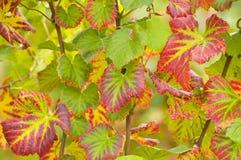 De bladeren van de wijn Stock Foto's