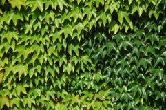 De Bladeren van de wijn op een muur Royalty-vrije Stock Foto