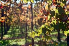 De bladeren van de wijngaard in een zonnige dag tijdens de herfst royalty-vrije stock afbeelding