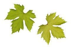 De bladeren van de wijnstok Stock Afbeelding