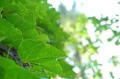De bladeren van de wijnstok Stock Foto