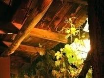 De bladeren van de wijnstok Stock Foto's