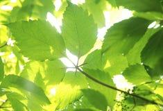 De bladeren van de wijnstok Royalty-vrije Stock Foto's