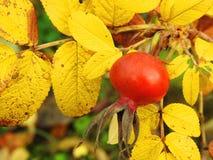 De bladeren van de doorninstallatie en bes in de herfst, Litouwen royalty-vrije stock foto