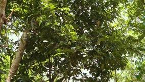 De bladeren van een kaneelboom stock videobeelden
