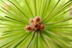 De bladeren van een Naaldboom Royalty-vrije Stock Afbeeldingen