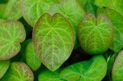 De bladeren van Epimedium Royalty-vrije Stock Fotografie