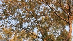 De bladeren van de esdoorn en blauwe hemel stock video