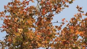 De bladeren van de esdoorn en blauwe hemel stock footage