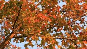 De bladeren van de esdoorn en blauwe hemel stock videobeelden