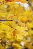 De bladeren van de esdoorn in de herfst Stock Fotografie
