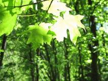 De Bladeren van de esdoornboom met Zonhoogtepunten op Bladtextuur royalty-vrije stock afbeeldingen