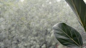 De bladeren van de ficusinstallatie met slecht regenachtig weer buiten venster stock videobeelden