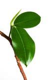 De bladeren van ficussen Stock Afbeelding