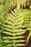 De bladeren van Fren Stock Afbeeldingen